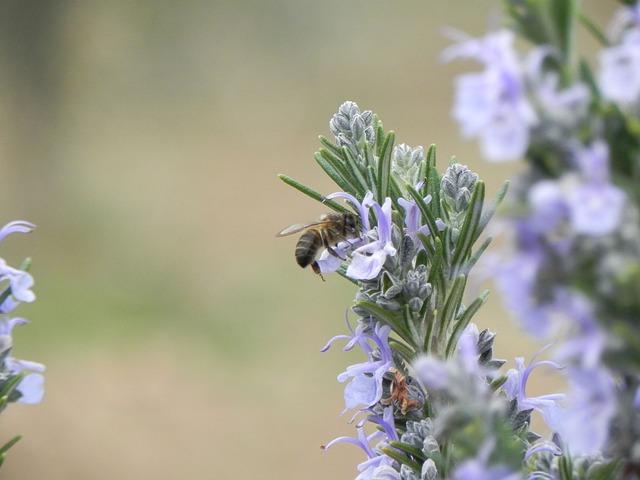Romarin et abeille